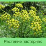 Растение Пастернак