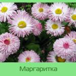 Маргаритка