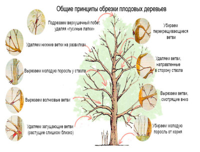 как обрезать плодовое дерево фото