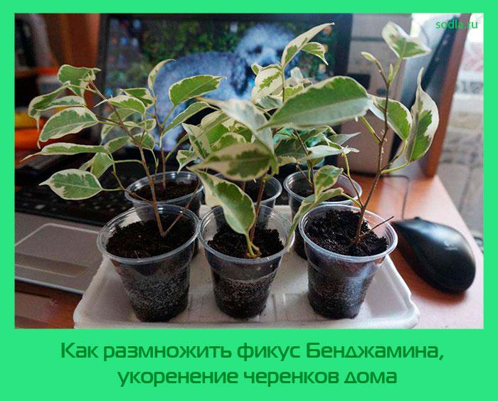 Как размножить фикус в домашних условиях пошагово 545