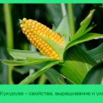 Кукуруза – свойства, выращивание и уход