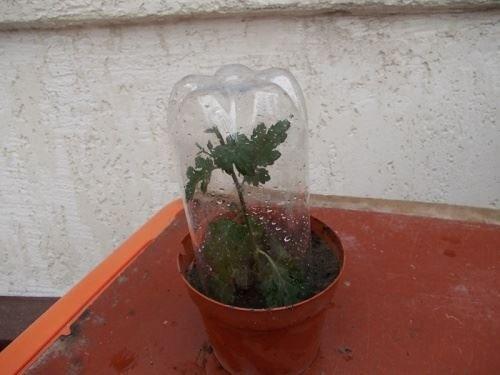 Выращивание хризантем из черенков из букета 86