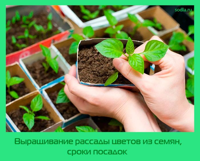 мангольд на рассаду выращивание из семян