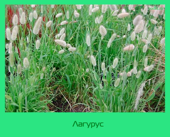 Зайцехвост выращивание из семян в домашних условиях 81