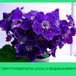 Стрептокарпусы уход и выращивание