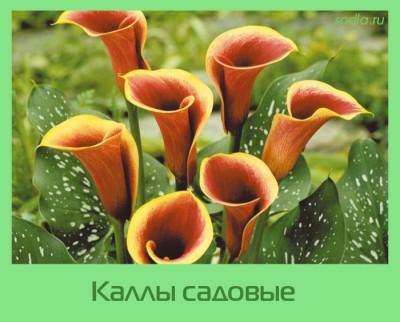 Kally-sadovye