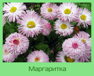 маргаритки фото цветов