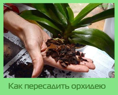 пересадить орхидею как