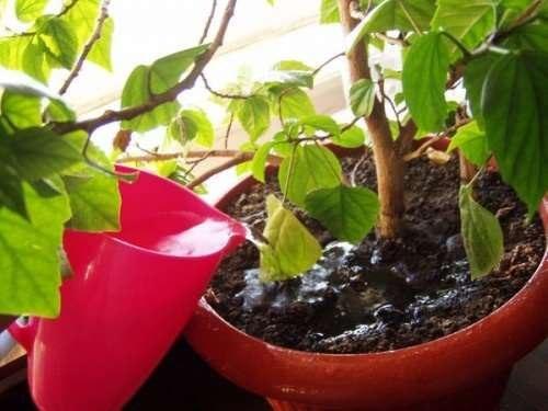 Домашняя роза в горшке- как выращивать и ухаживать