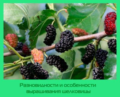 Разновидности и особенности выращивания шелковицы
