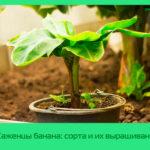 Саженцы банана: сорта и их выращивание