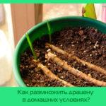 Как размножить драцену в домашних условиях?