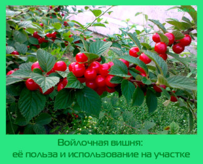 Войлочная вишня