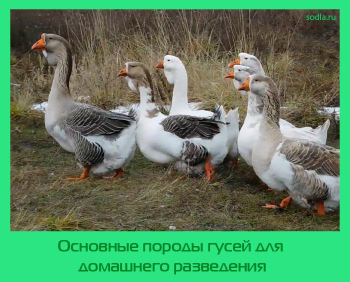 Основные породы гусей для домашнего разведения