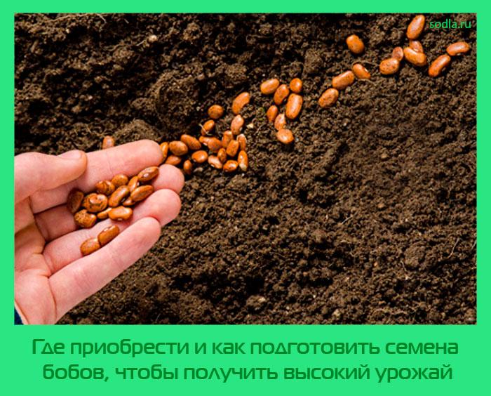 как подготовить семена бобов