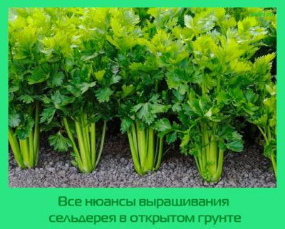 Все нюансы выращивания сельдерея в открытом грунте