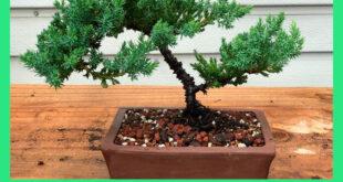 Дерево бонсай из можжевельника